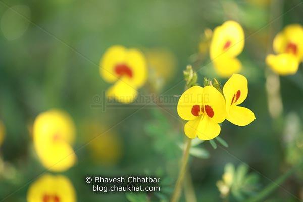 Bristly Smithia Flowers [AKA Smithia Setulosa, Motha Kawla, मोठा कवला]
